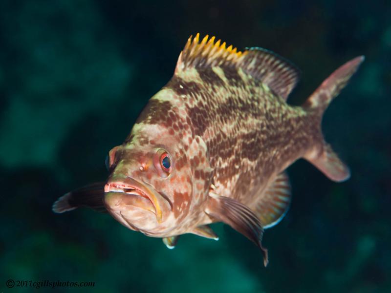 Juvenile-yellowmouth-Grouper-CA165544-Edit