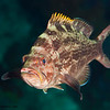 Juvenile-yellowmouth-Grouper-CA165544-Edit
