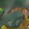 NotarchusPunctatus-seahare-CA286550-Edit