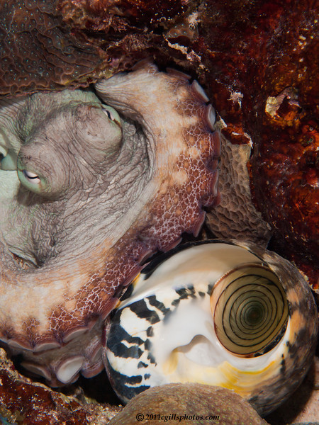 Octopus-shell-P1213469-Edit