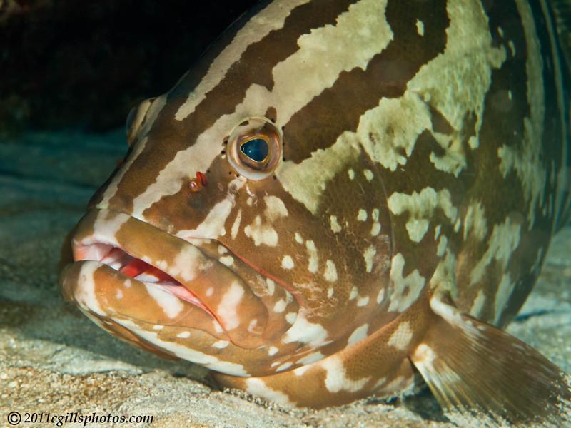 Nassau-grouper-CA054607-Edit-Edit