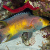 SpanishHogFish_cleaning-CA057139-Edit