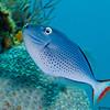 SargassumTriggerfish-CA274419-Edit