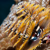 Xmas-tree-worm-2CA051665-Edit
