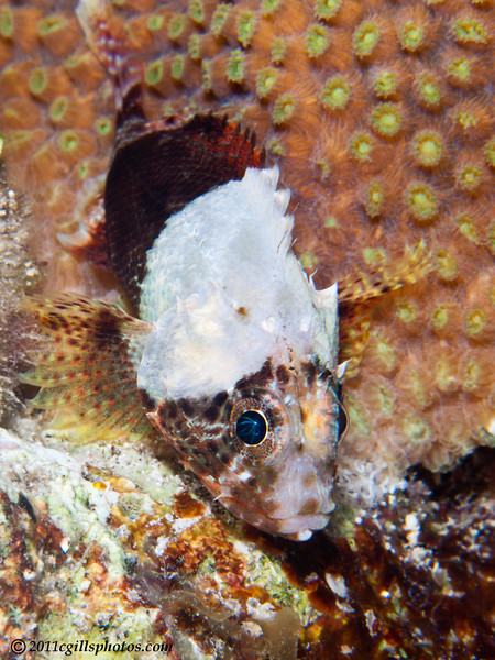 Reef-scorpionfish-CA155497-Edit