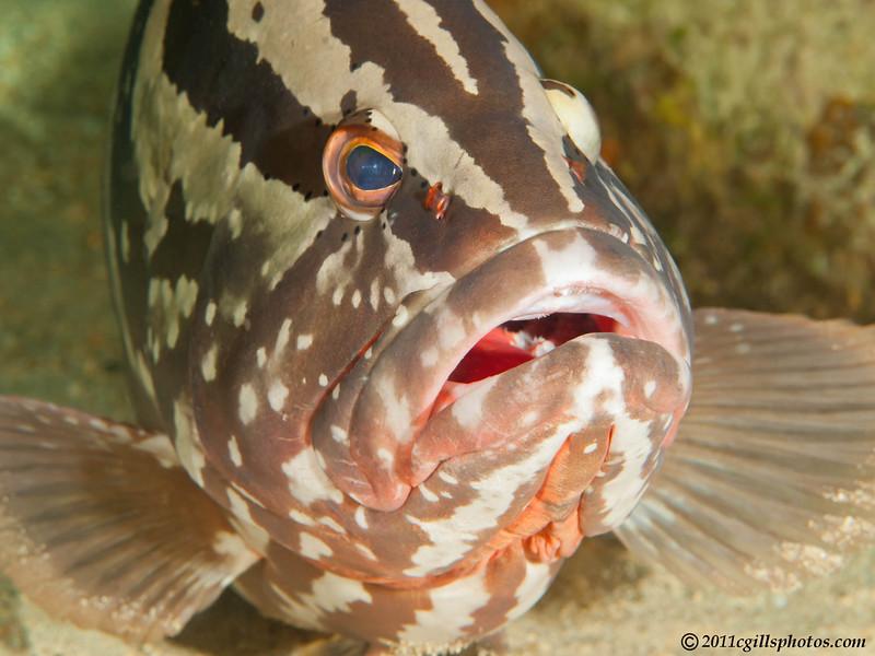 Nassau-grouper-CA145256-Edit