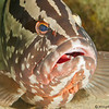 Nassau-grouper-CA145256-Edit