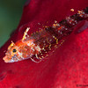Triple-fin-Blenny-CA094953-Edit
