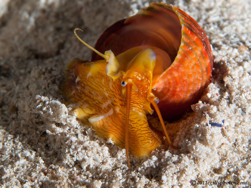 Shell-red-unknown-CA266290-Edit