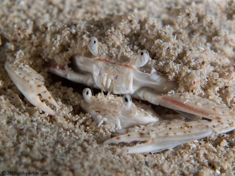 Crabs-mating-CA209364-Edit-Edit