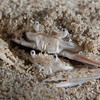 Crabs-mating-CA209364-Edit-Edit