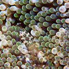 Sun-Anemone-shrimp-Periclimenes-rathbunae-2CA031523-Edit