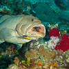 Grouper-cleaning-WA-CA074700-Edit