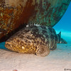 GoliathGrouper-CA138195-Edit