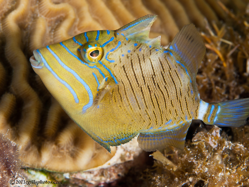 Triggerfish-Queen-juvenile-2CA021171-Edit