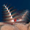Xmas tree_worm-CA125183-Edit
