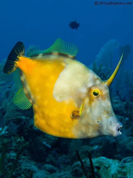 WhiteSpottedFilefish-CA067272-Edit