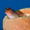 Red-Lip-Blenny-P2184463-Edit