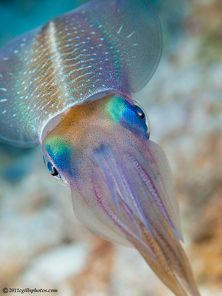 Squid-CA239845-Edit