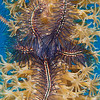 Brittlestar-softcoral-CA199069-Edit