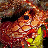 Red-Banded-Lobster-CA054593-Edit