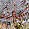 Arrow-crab-P2194548-Edit