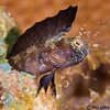 Sailfin-Blenny-male-P2194616-Edit