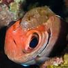 Soldierfish-parasite-2-P2184376-Edit-Edit