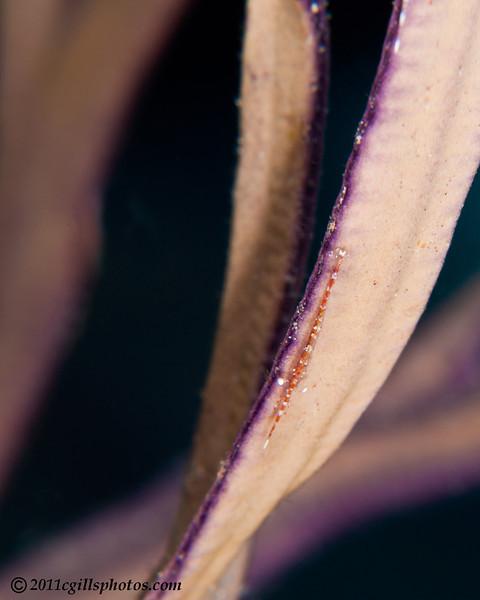 Arrow-Shrimp-Tozeuma-carolinese-2CA031464-Edit