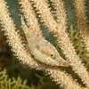 SlenderFilefish-CA240381-Edit