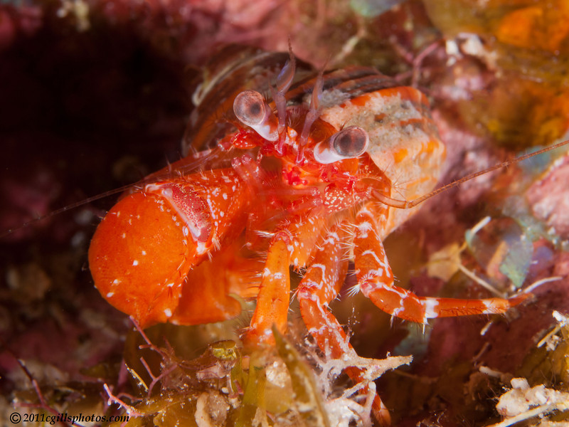 OrangeHermitCrab-CA168553-Edit