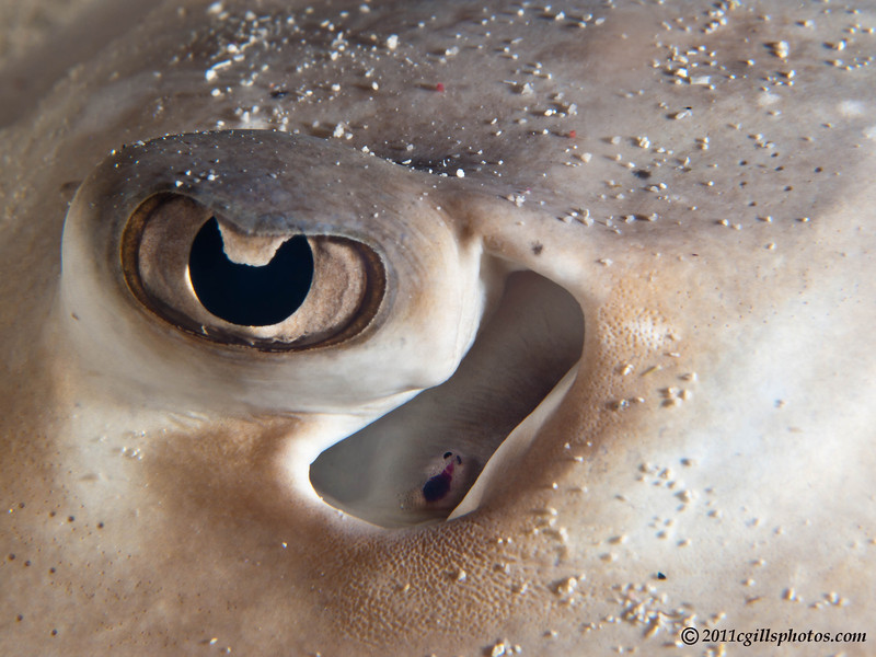 Stingray-parasite-CA155541-Edit