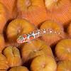 OrangeSidedGoby-P1304134-Edit
