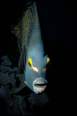 A curious French Angelfish approaches.