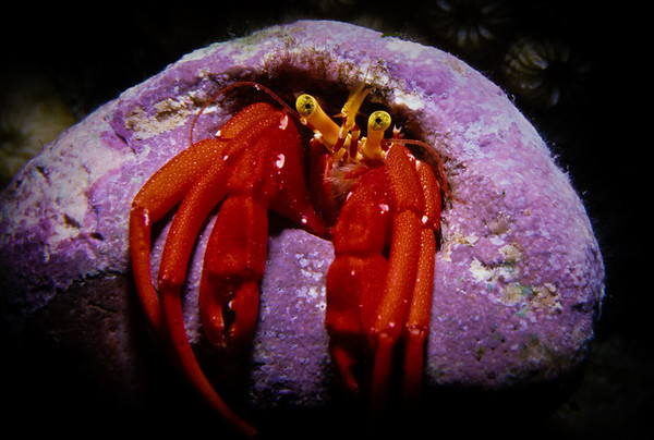 A brilliantly colored Hermit Crab cautiously peers from the abandoned shell it has made its new home.