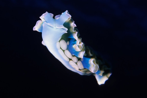 Lettuce Leaf Nudibranch