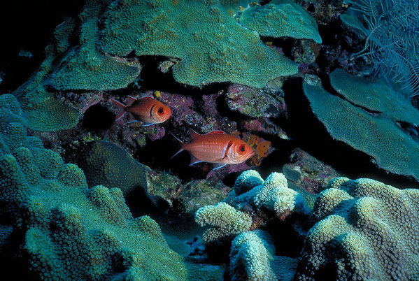 A pair of Black Bar Soldierfish patrol the reef.