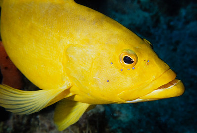 This Yellow Coney was a favorite on the wreck of the Balboa.