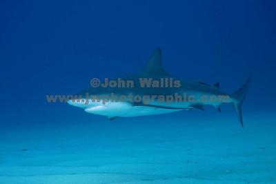 Shark 7RN