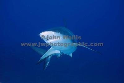Shark 6RN