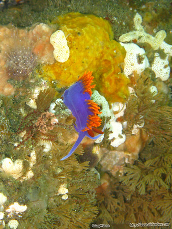 channel islands, nudibranch, spanish shawl,