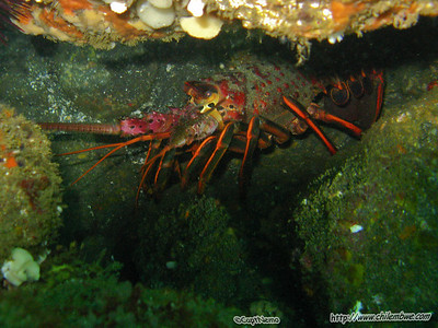 channel islands,  spiny lobster