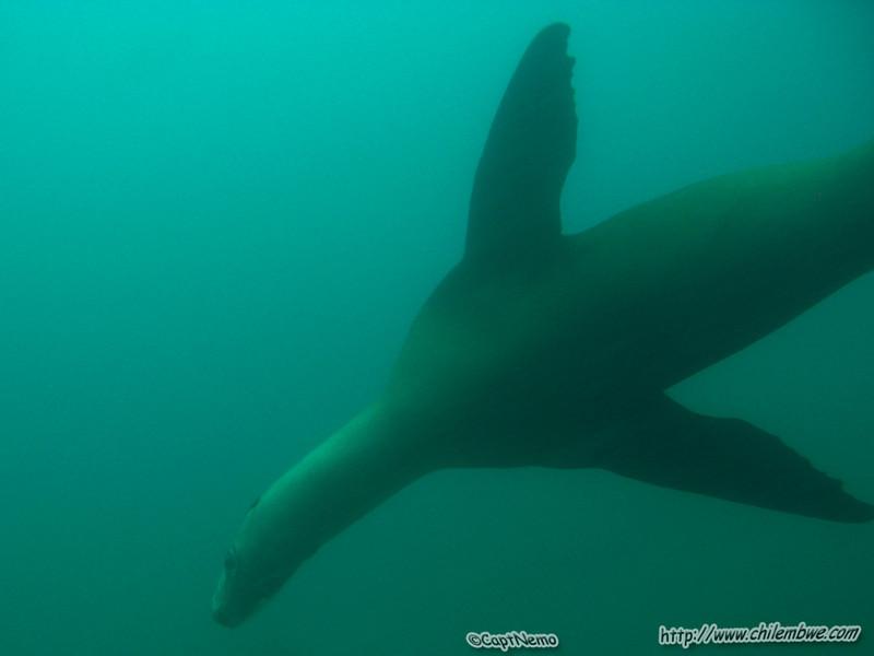channel islands, sea lion
