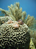 Christmas Tree Tube Worms on Brain Coral