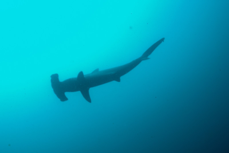 Hammerheads were around us on every dive.  Down at 80 to 100 feet we would often watch them schooling above.