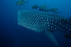 We were diving the Punta Maria site when the dive master Luis spotted this Whale Shark at about 80 feet down.  It was the highlight of the trip.
