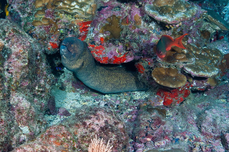 There were large Moray eels on every dive.  This is an Yellow-edged Moray.