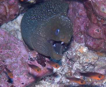 Finespotted moray