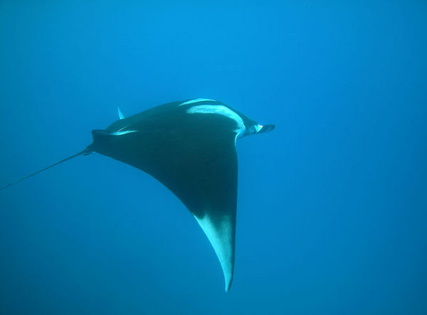Manta Ray - wing span of about 12-15'