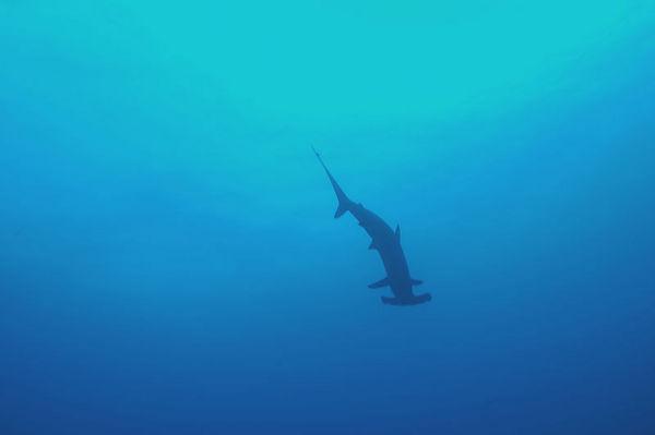 A hammerhead swims overhead.